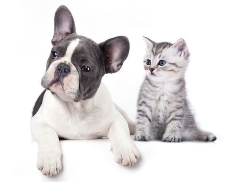 Kat en hond, British kitten en Franse Bulldog puppy