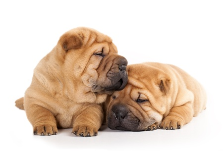 Tvo beautiful sharpei puppies photo
