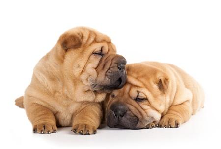 Tvo beautiful sharpei puppies