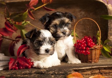 october calendar: Biewer terrier puppies