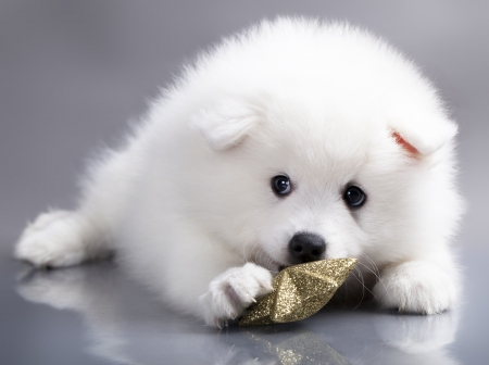 Japanese white spitz photo