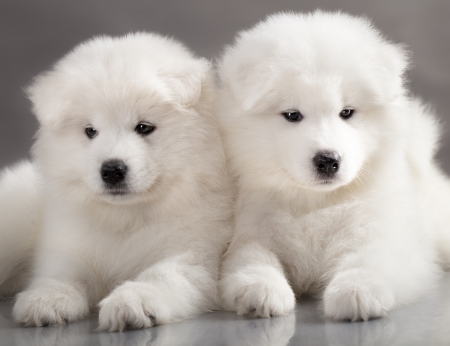 small white dog: funny puppies of Samoyed dog  or Bjelkier