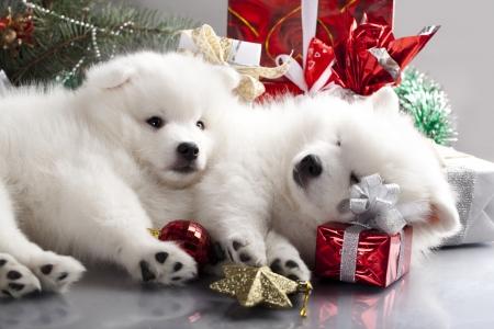 日本語白いスピッツと新年の贈り物 写真素材 - 16698173