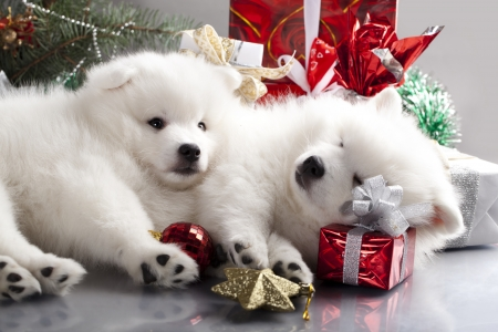 cute westie: Japanese white spitz and New Year gift