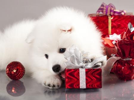 일본 흰 스피츠와 새해 선물 스톡 콘텐츠