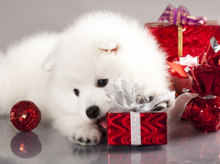 Japanese Spitz blanco y regalo de a�o nuevo photo