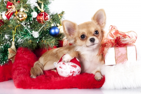 Chihuahua hua and New Year gifts Stock Photo - 16951933