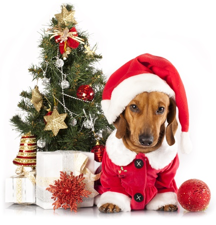 miniature dog: dachshund dog wearing a santa hat