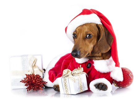 dachshund puppy wearing a santa hat photo