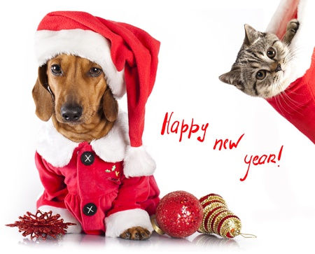 British kitten and dog dachshund  Stock Photo - 16951921