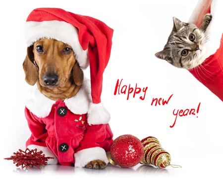 dog christmas: British kitten and dog dachshund