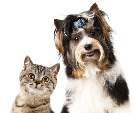pet grooming: Cat and dog, British kitten and beaver yorkshire terrier