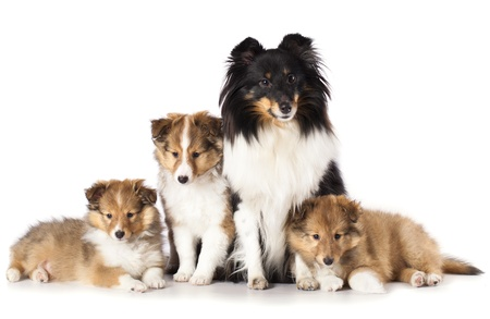 miniature collie: sheltie puppies and mother dog, A Family of Shetland