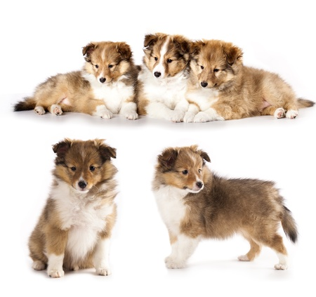 miniature collie: sheltie puppies