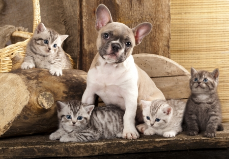 Cat and dog, British kittens and French Bulldog puppy in retro background