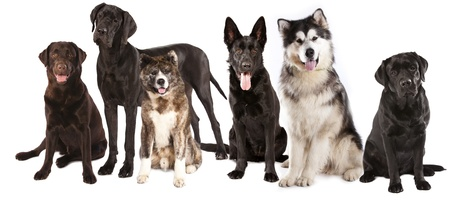 pack: group of dogs in front of a white background