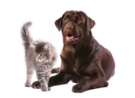 dog cat: labrador dog and kitten maine coon Stock Photo