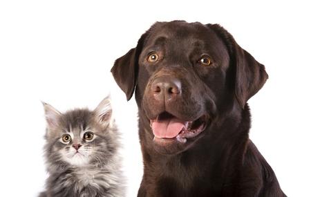 perro labrador: gato y perro Foto de archivo