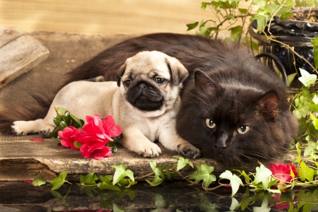 cat  and puppy pug photo
