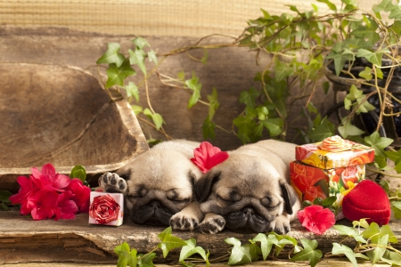 pug puppy and gift  box photo