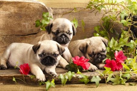 복고풍 backgraun의 퍼그 강아지와 꽃