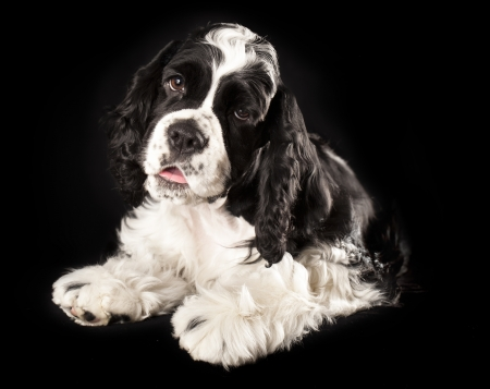 American Cocker Spaniel puppy Stock Photo - 19089088