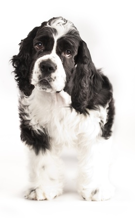 American Cocker Spaniel puppy photo