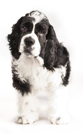 American Cocker Spaniel puppy photo