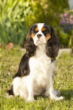 Close-up portrait Cavalier king charles spaniel photo