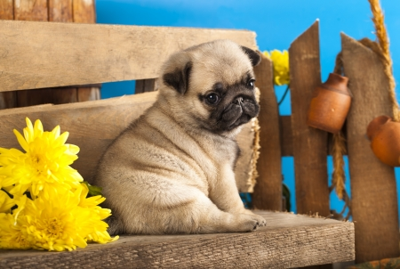 pug dog: pug puppy and spring  flowers