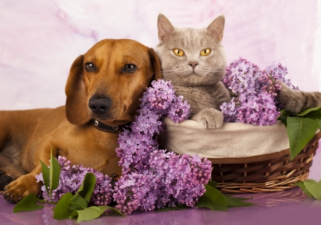British kitten rare color (lilac) and puppy red dachshund, cat and dog Stock Photo