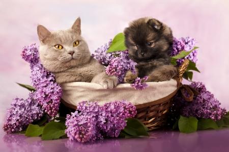 スピッツ子犬と猫、猫と犬