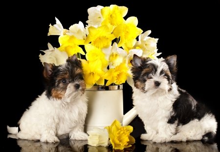yorky: puppies Beaver Yorkshire Terrier and flowers  narcissus
