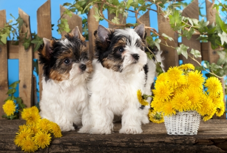 closeup puppy: Two puppies and flowers dandelions, Beaver Yorkshire Terrier