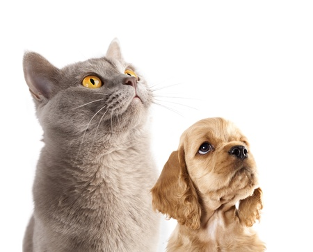 dreaminess: Cocker Spaniel puppy and  British cat