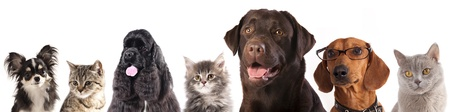 maine cat:  Group of cats and dogs in front of white background Stock Photo