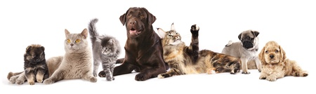 medium shot:  Group of cats and dogs in front of white background Stock Photo