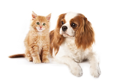 Cavalier King Charles Spaniel and and kitten breeds Maine Coon  photo