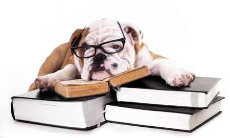 purebred english Bulldog in glasses and book