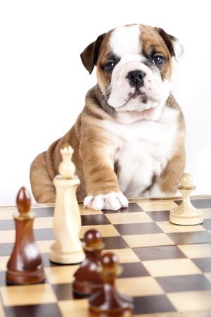 chellange: bulldog puppy playing chess