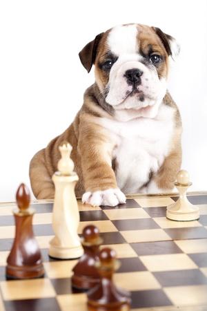 english bulldog: bulldog puppy playing chess