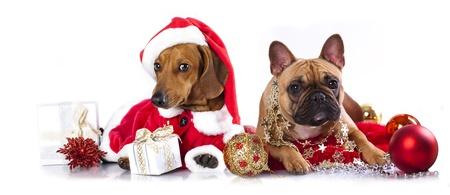 dogs sitting: dachshund cachorro con sombrero de santa Foto de archivo