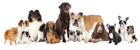 large group of animals: Group of  dogs sitting in front of a white background