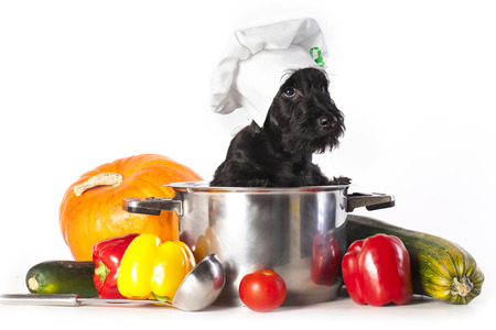 Scotch terrier kitchen boy in a saucepan photo