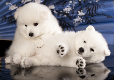 puppies Japanese Spitz photo