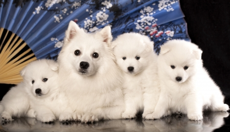 dog and puppies Japanese Spitz