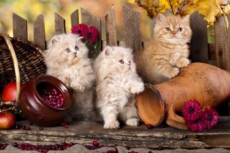beaver tail: Persian kittens Stock Photo
