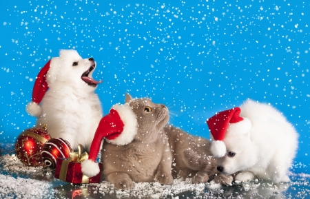 christmas puppies white Spitz wearing a santa hat  photo