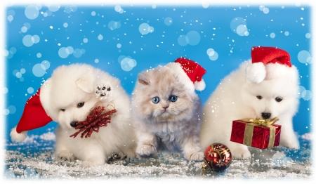 흰색 스피츠는 산타 모자와 고양이를 입고 크리스마스 강아지 스톡 콘텐츠