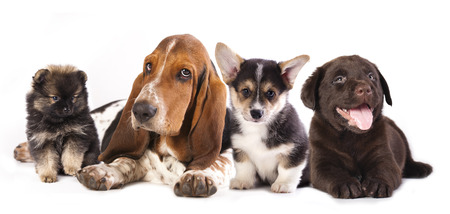 바셋 하운드와 코기, 래브라도, 개, 포메라니안 강아지